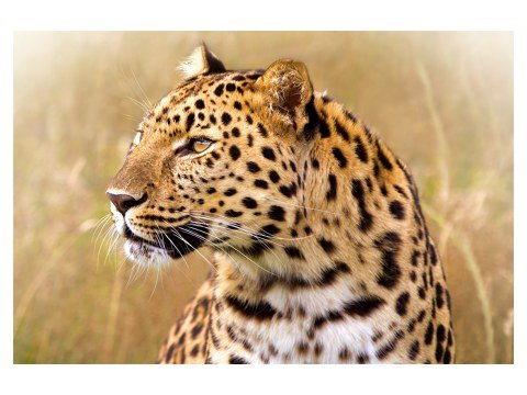 immagini Leopard