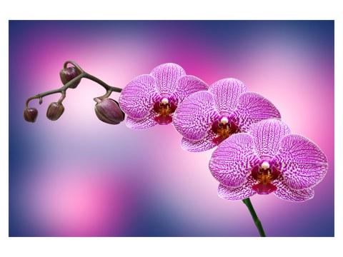 Orchidea su tela