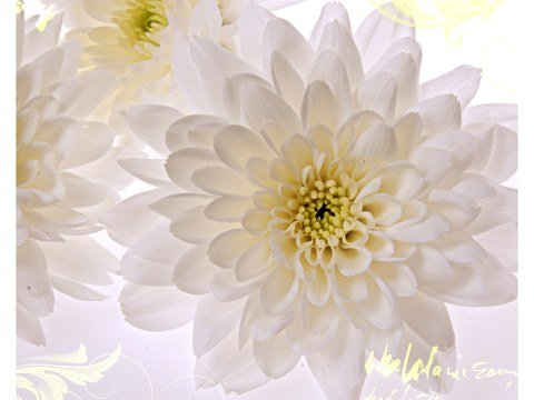 Weiße Blumen Bilder